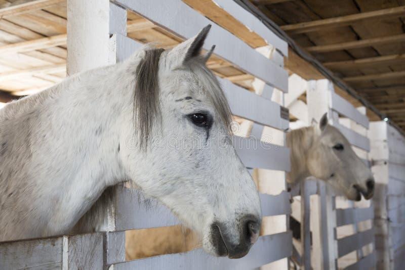 Twee paarden grijs kostuum in de boxen stock foto