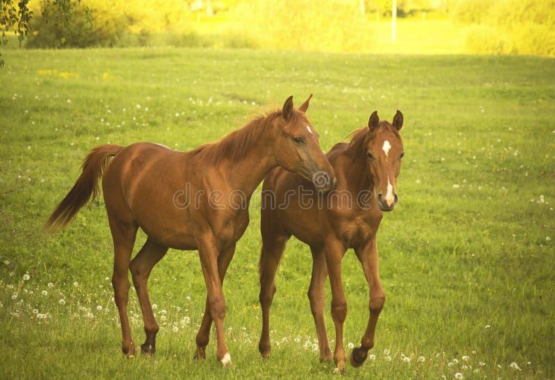 Twee Paarden het spreken stock fotografie