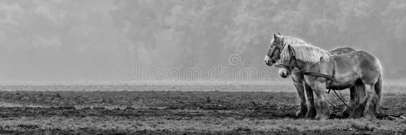 Twee paarden het wachten royalty-vrije stock afbeelding