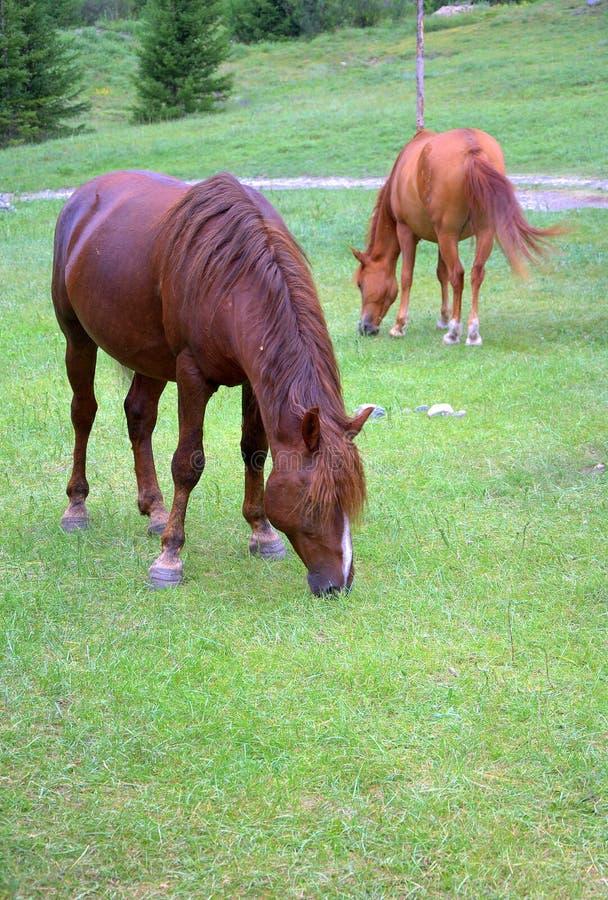 Twee paarden in het weiland eten vers gras op de helling van hoolma Republiek van Gorny Altai, Rusland Landschap stock foto's