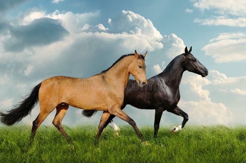 Twee paarden op het gebied stock afbeeldingen
