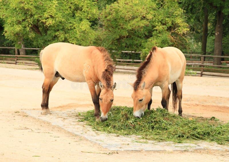 Twee paarden van Przewalski ` s stock fotografie