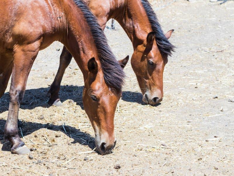 Twee paarden weiden op weiland en eten hooi van de grond royalty-vrije stock foto