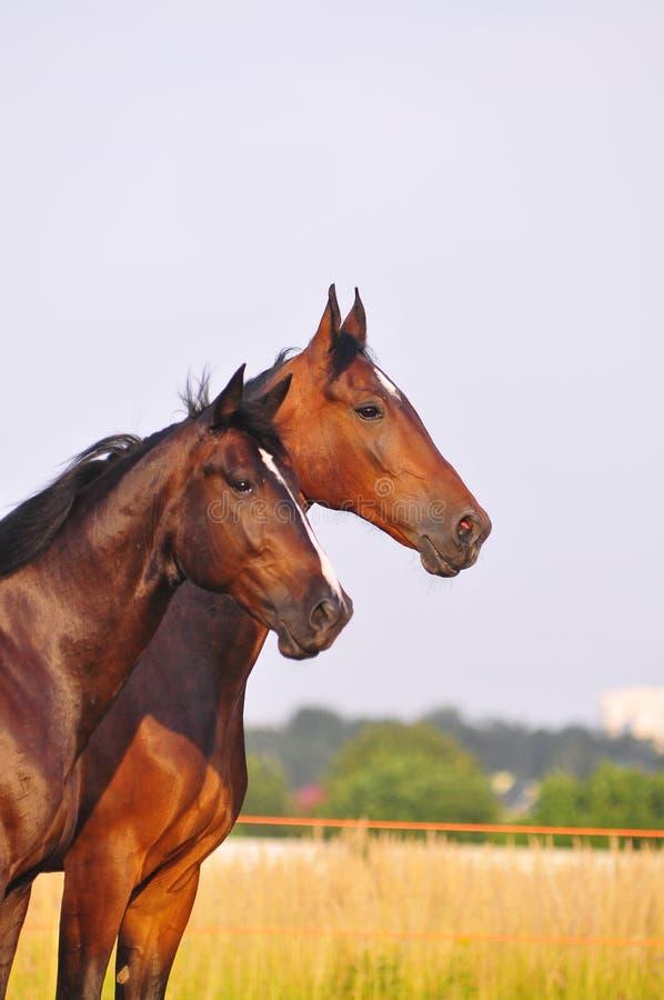Twee paardenportret royalty-vrije stock afbeeldingen