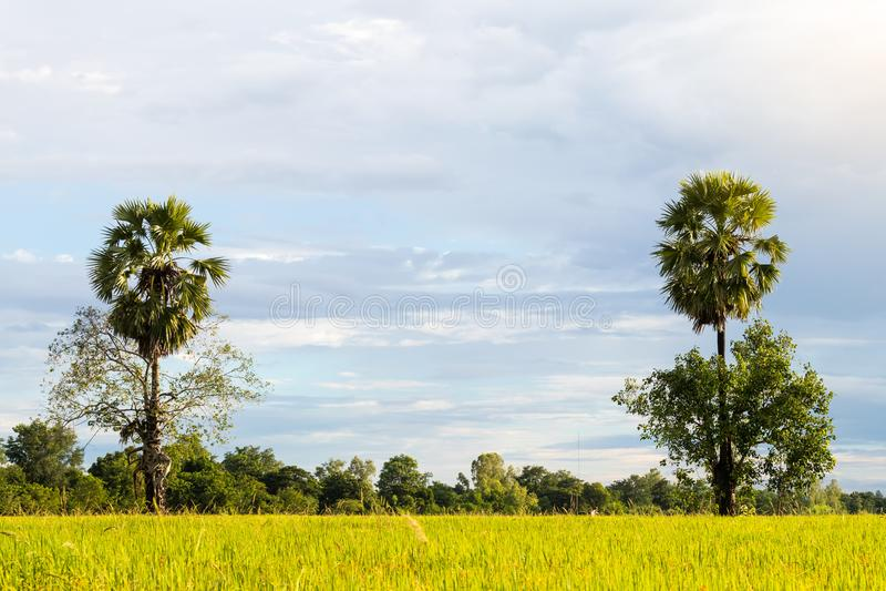 Twee palmen in het padieveld royalty-vrije stock afbeeldingen