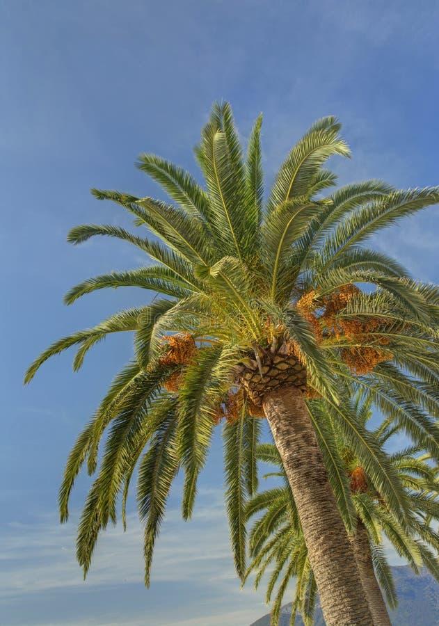 Twee palmen tegen blauwe hemel stock fotografie