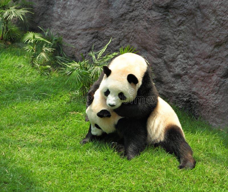 Twee panda het spelen stock foto's