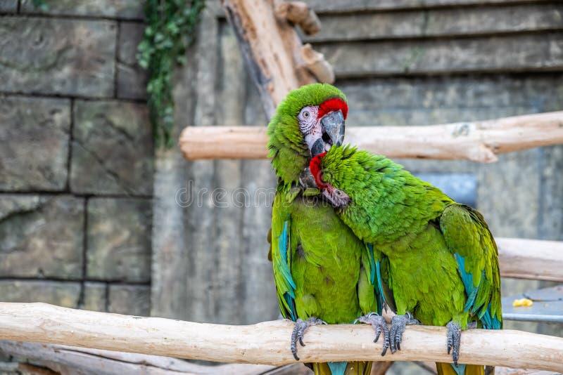 Twee papegaaien die elke anderen schoonmaken bevedert stock afbeeldingen