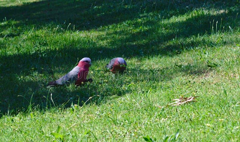 Twee papegaaien op groen gras op zonnige dag royalty-vrije stock afbeelding