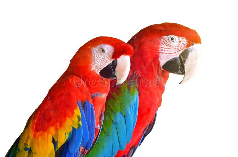 Twee papegaaienrood in tropische bosdievogels op witte achtergrond wordt geïsoleerd stock afbeelding