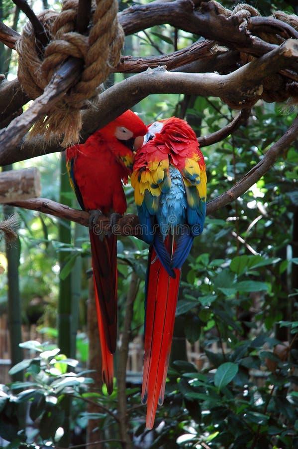 Twee papegaailiefde stock afbeelding