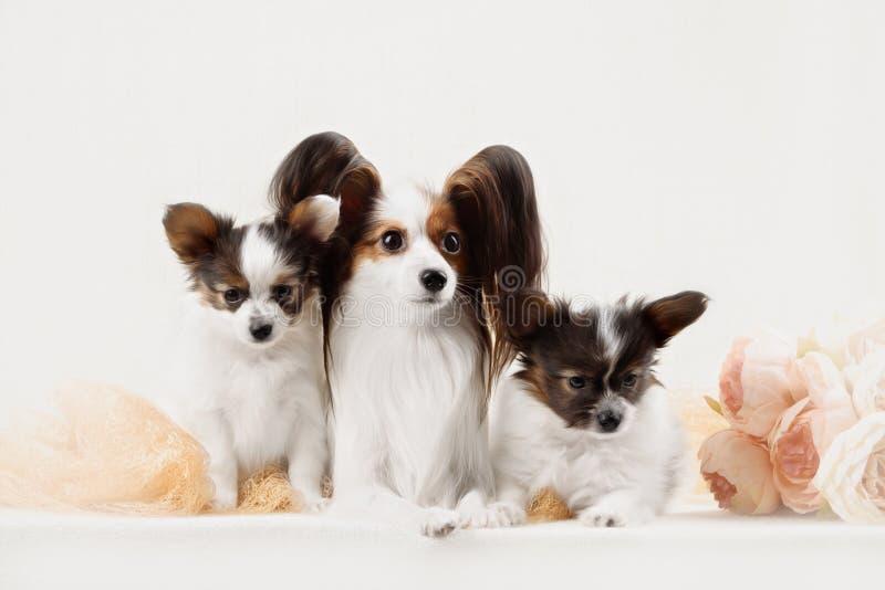 Twee Papillon-hondenmoeder en haar puppy royalty-vrije stock foto's