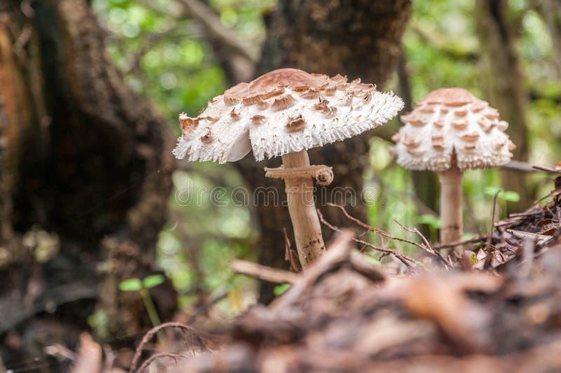 Twee parasolpaddestoelen groeien in een bos royalty-vrije stock afbeeldingen