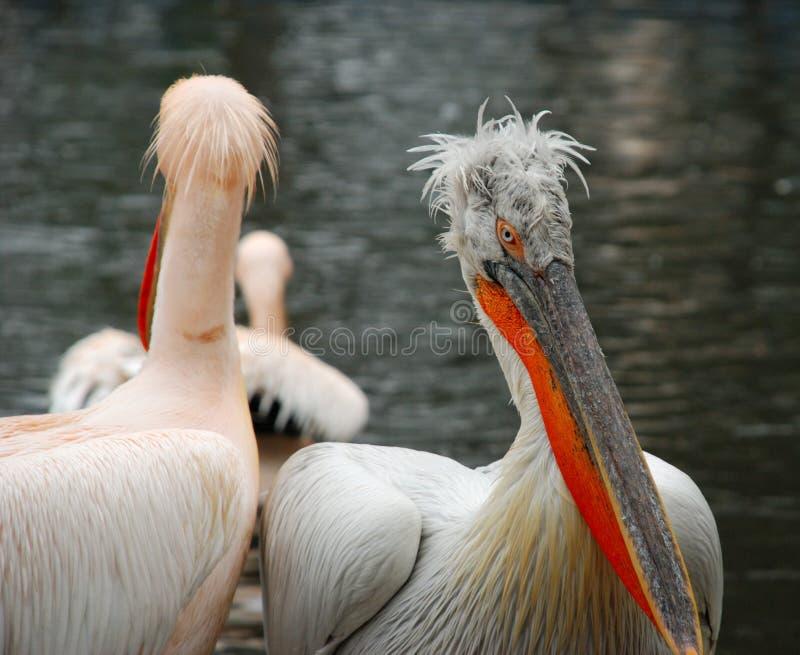 Twee pelikanen stock afbeeldingen