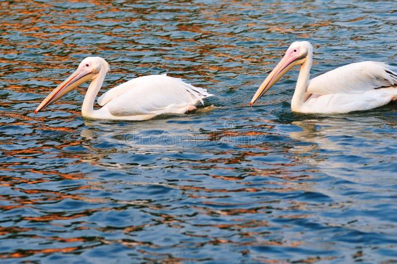 Twee pelikanen het zwemmen stock foto's