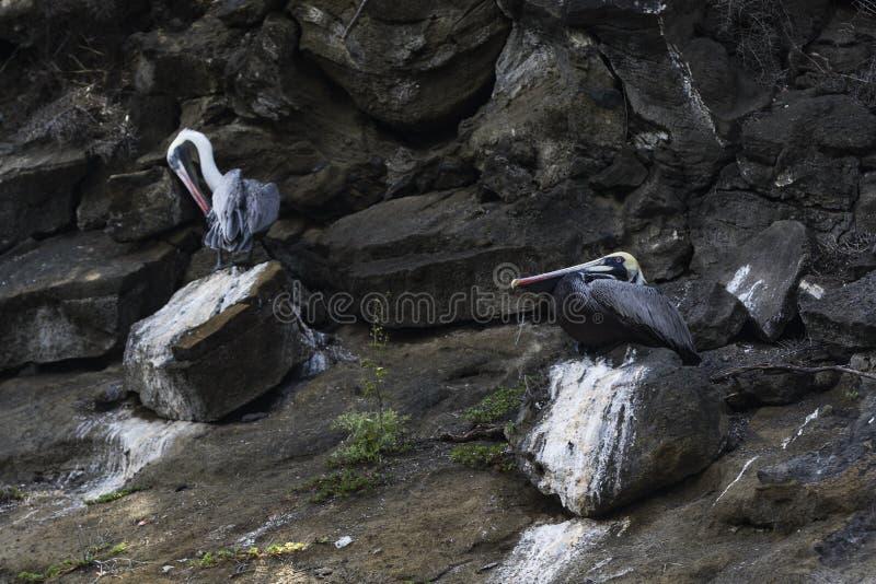 Twee Pelikanen op vulkanische rotsen royalty-vrije stock afbeeldingen
