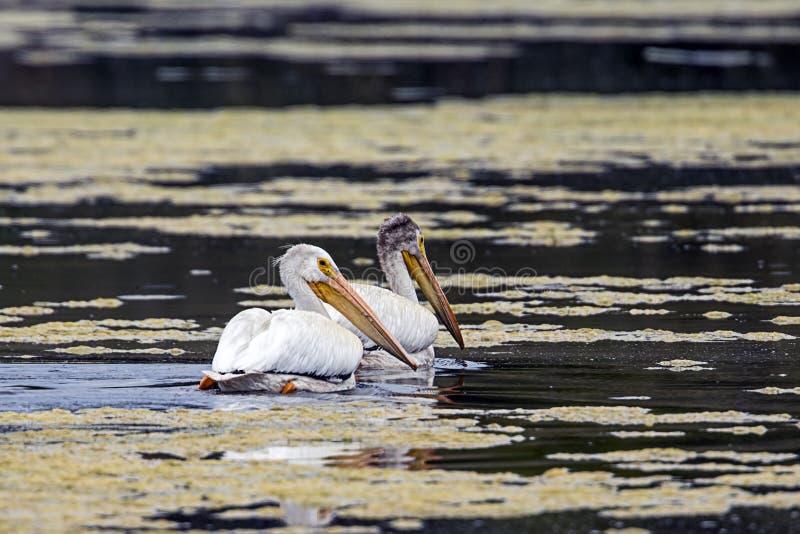 Twee Pelikanen zwemmen in het water royalty-vrije stock foto's