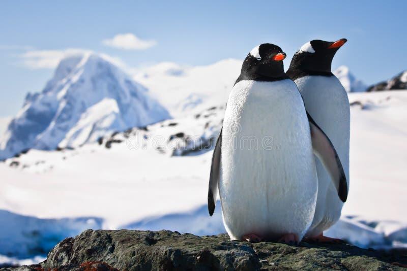 Twee pinguïnen stock fotografie