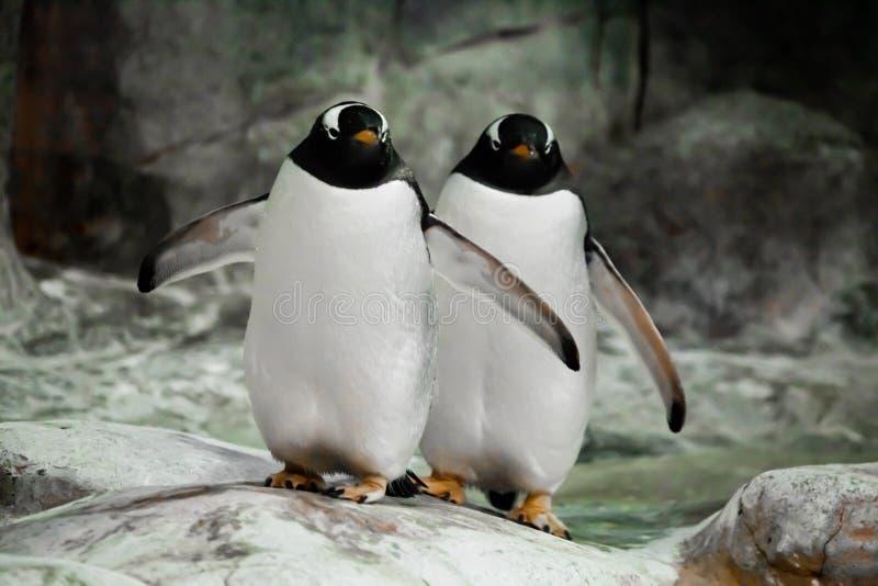 Twee pinguïnen bevinden echtgenoten, zich zij aan zij een echtpaar of vrienden de vette leuke sub-antarctische pinguïnen zich gra stock fotografie
