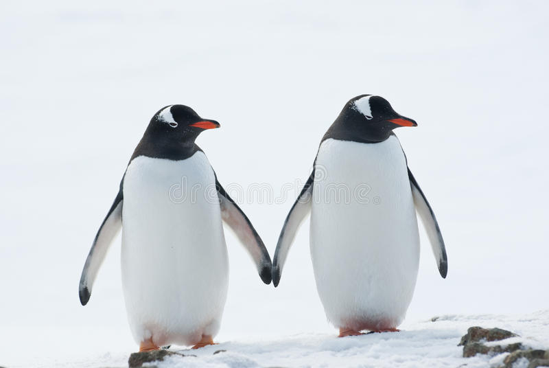 Twee pinguïnen Gentoo.
