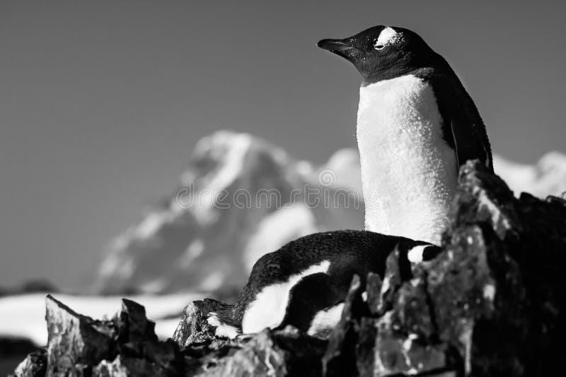 Twee pinguïnen op een rots royalty-vrije stock foto