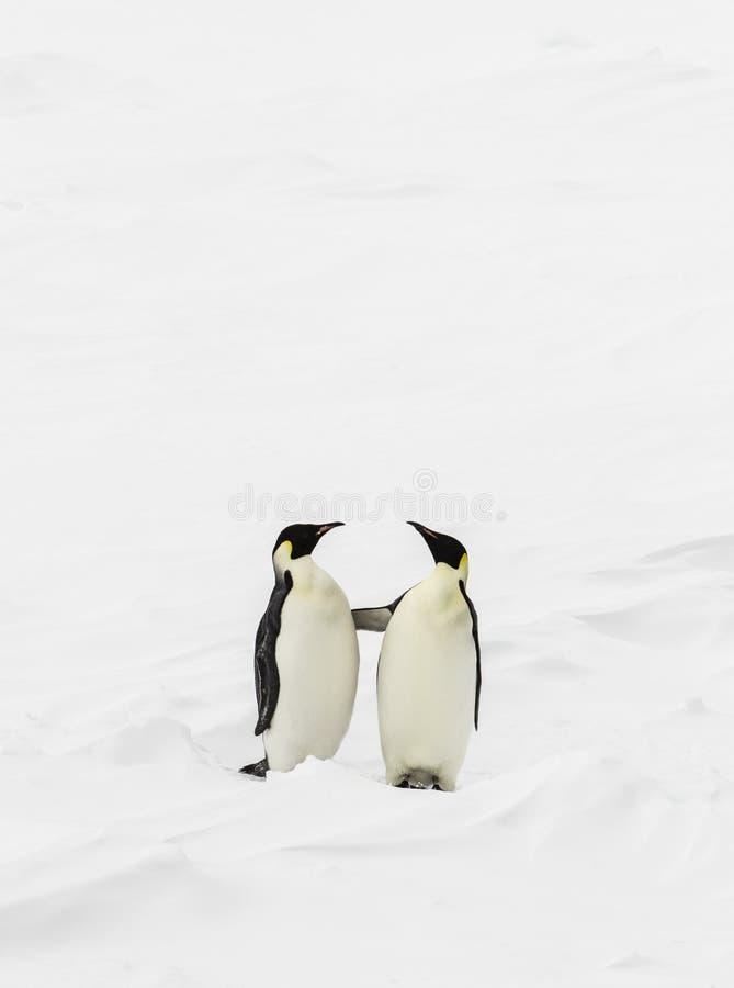 Twee pinguïnen status royalty-vrije stock fotografie