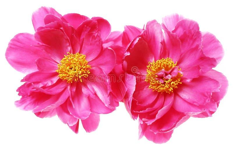 Twee pioenbloemen royalty-vrije stock foto's