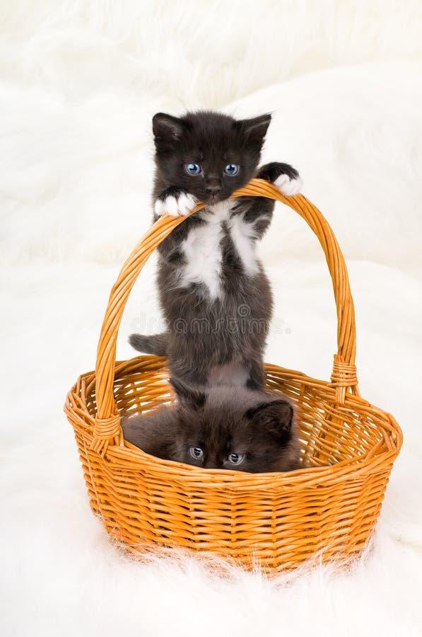 Twee pluizige kleine katjes royalty-vrije stock foto's
