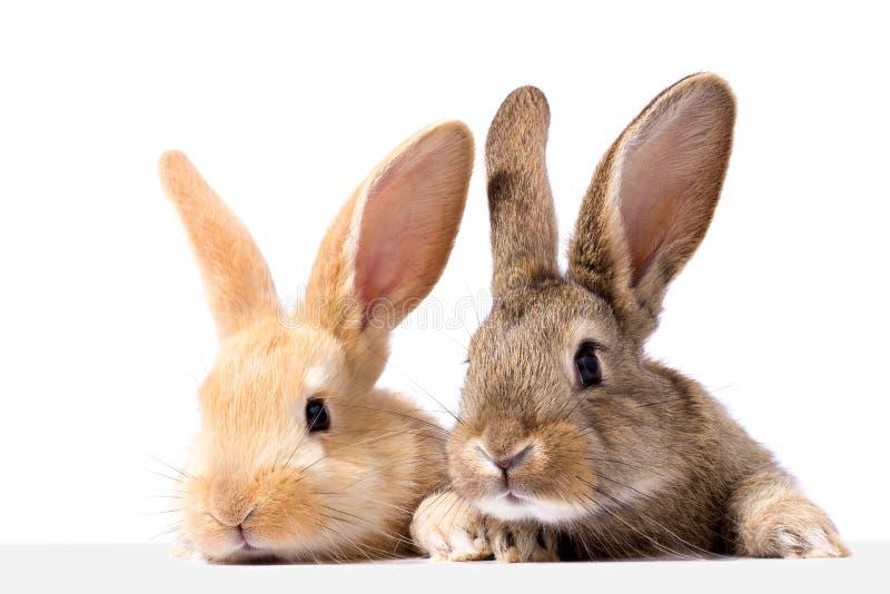 Twee pluizige konijntjes bekijken het uithangbord Geïsoleerd op witte Paashaas als achtergrond Het rode en grijze konijn gluren stock fotografie