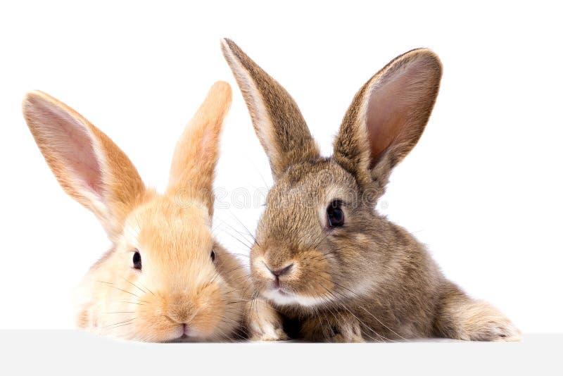 Twee pluizige konijntjes bekijken het uithangbord Geïsoleerd op witte Paashaas als achtergrond Het rode en grijze konijn gluren stock afbeelding