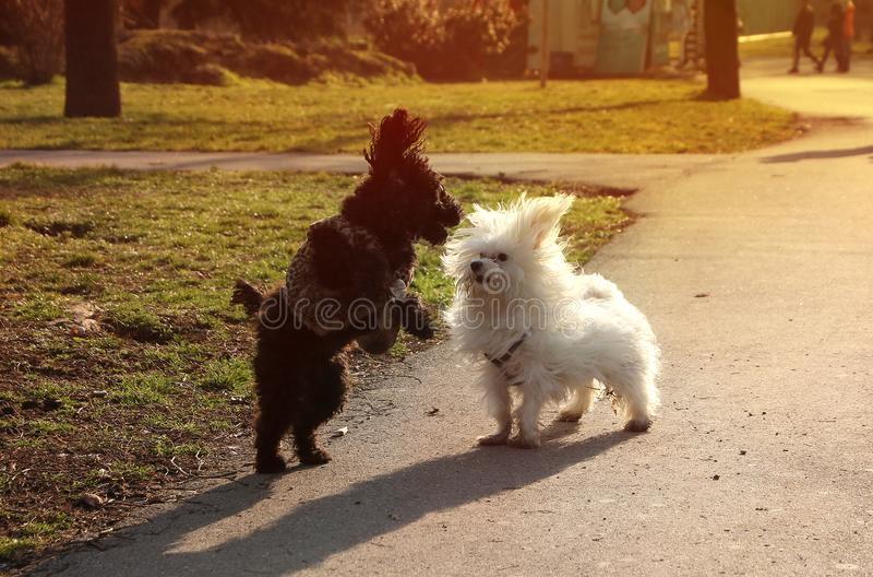 Twee Pluizige Puppy die en elkaar in het park op een zonnige dag humping achtervolgen stock afbeelding