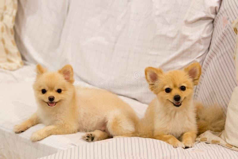 Twee pomeranian honden die op de bank glimlachen royalty-vrije stock fotografie