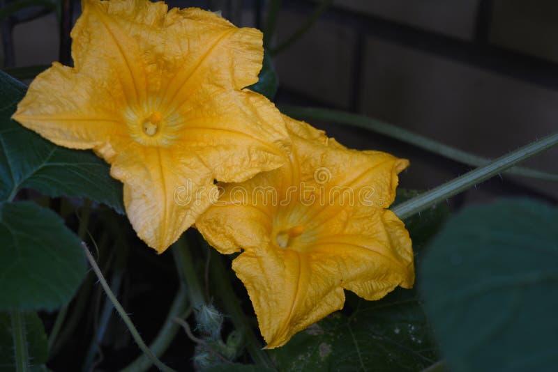 Twee pompoen gele bloemen en groene bladerenachtergrond royalty-vrije stock fotografie