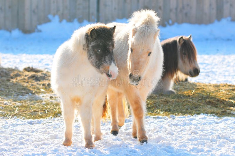 Twee poneys in de winter stock foto's