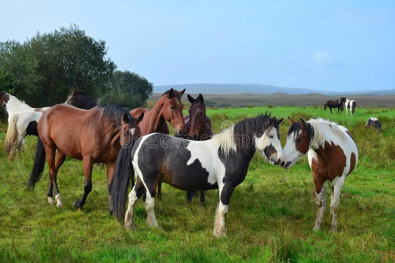 Twee poneys die bij elkaar snuiven royalty-vrije stock foto