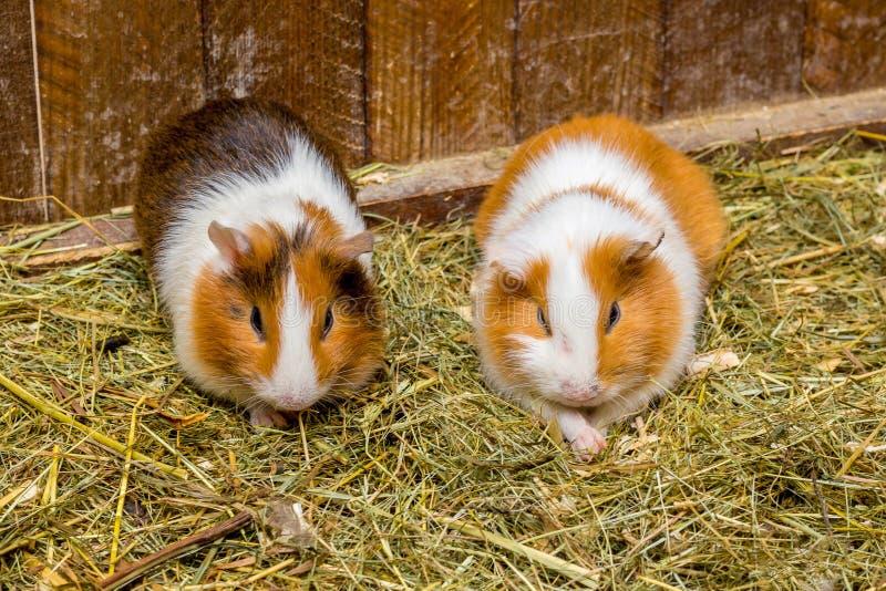 Twee proefkonijnen zitten in het hooi Het fokken en verkoop van Guinea pigs_ stock afbeelding