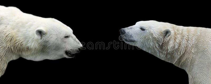 Twee profielen van de ijsbeer overdwars van elkaar op een isol royalty-vrije stock foto