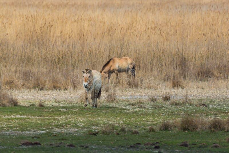 Twee Przewalski-wild paarden die zich in weide bevinden stock fotografie
