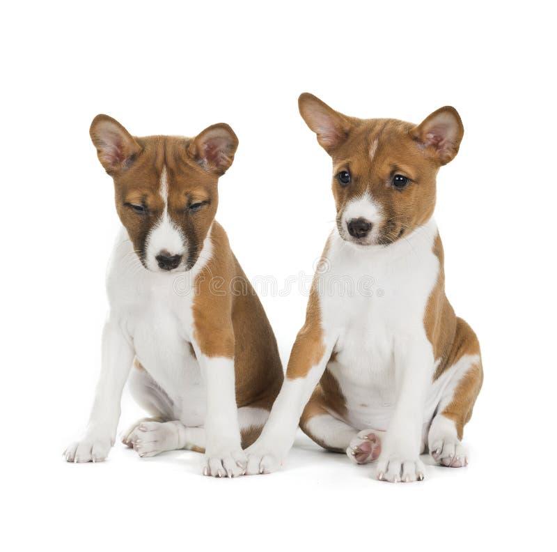Twee puppy Basenji royalty-vrije stock fotografie