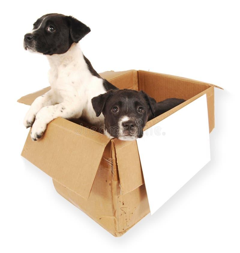 Twee puppy in een kartondoos. royalty-vrije stock afbeeldingen