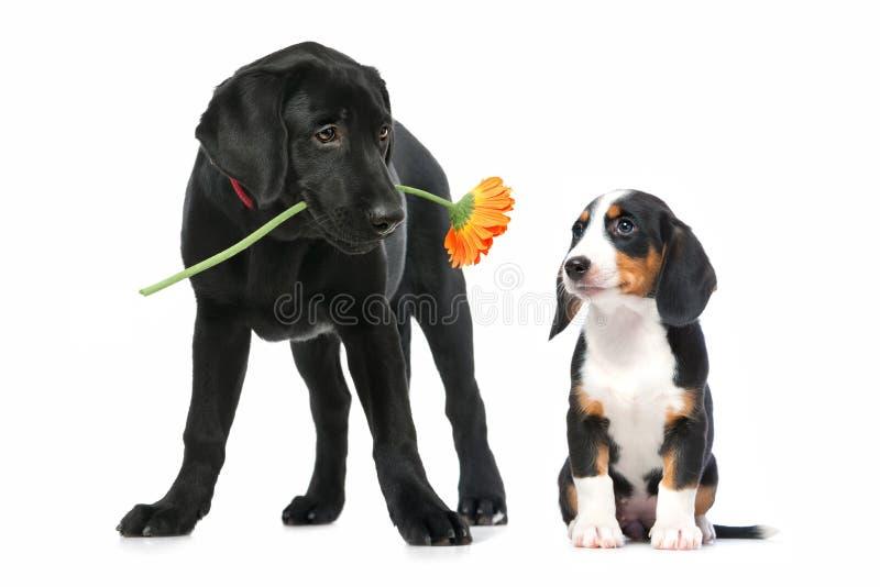 Twee puppy in liefde stock foto
