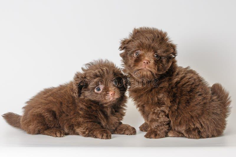Twee puppy's in studio royalty-vrije stock foto