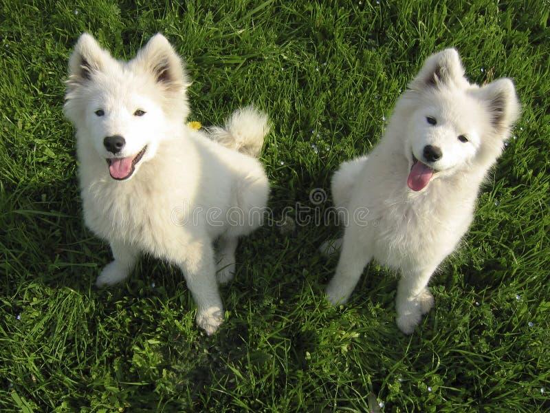 Download Twee puppy Samoyed stock afbeelding. Afbeelding bestaande uit gras - 9738143