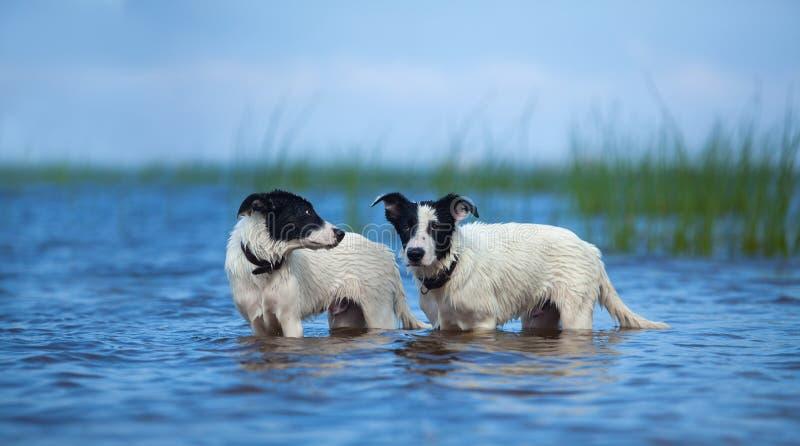 Twee puppy van bastaarde status in water op het overzees royalty-vrije stock foto