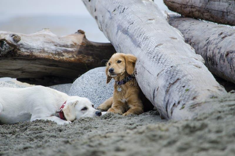 Twee puppyrust na het spelen bij het strand royalty-vrije stock foto