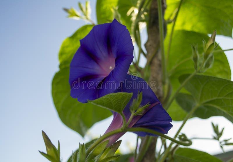 Twee Purpere Ochtend Glory Flowers stock foto's