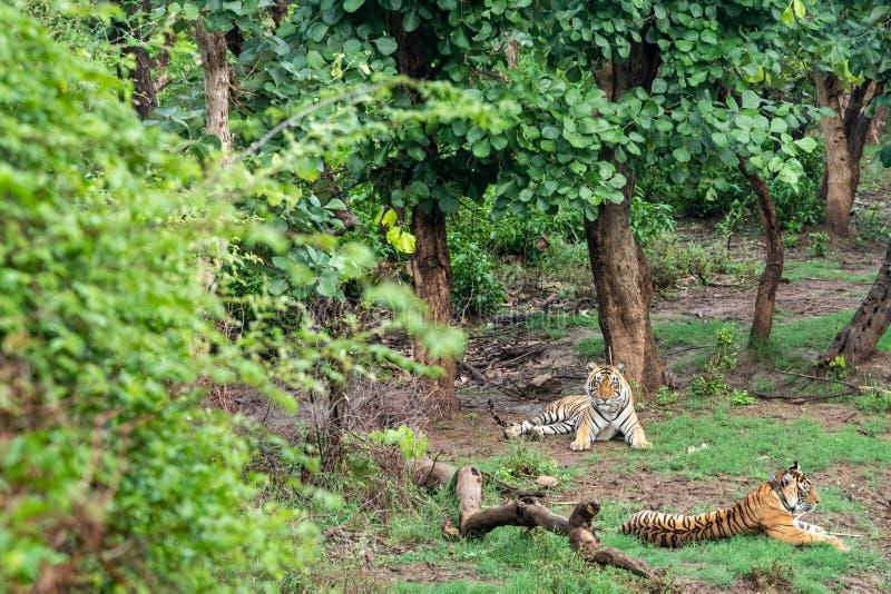 Twee Radio of volgende tijgers van kraagbengalen of een het koppelen paar in mooie groene bomen en achtergrond in Sariska royalty-vrije stock foto