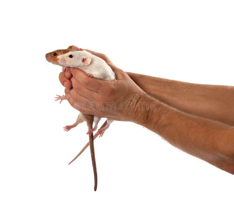 Twee ratten in menselijke uitgestrekte handen royalty-vrije stock fotografie