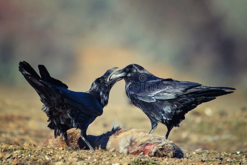 Twee raven Corvus corax zitten op een prooi stock foto