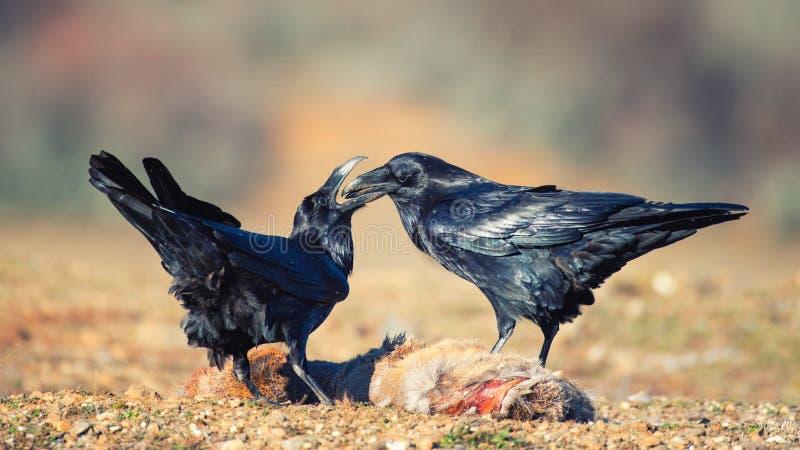 Twee raven Corvus corax zitten op een prooi stock foto's